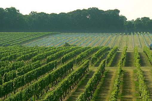 Large_rows-of-vinyards_fin
